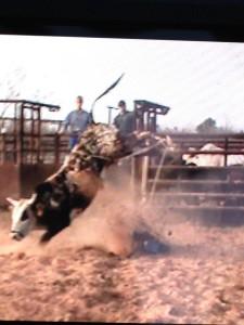 2 yr old brindle bull 2014